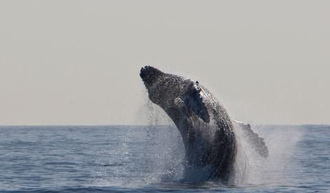 Humpback Whale Endangered Status