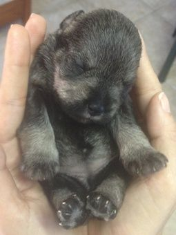 Baby schnauzer DID LIESEL SCHMEEZEL LOOK THIS CUTE WHEN SHE WAS JUST BORN?