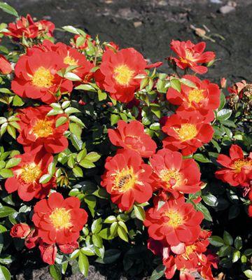 Hunajaruusu, punainen