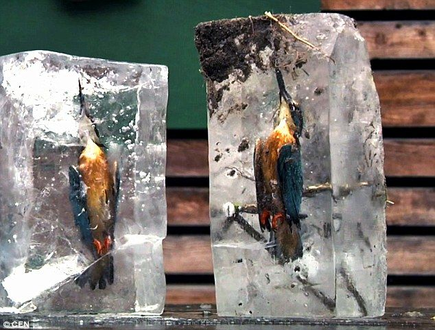 The birds were discovered by a priest perfectly preserved in ice after plunging into a pon...
