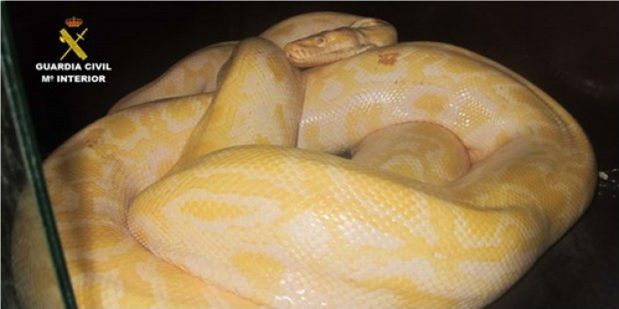 La Guardia Civil interviene en un circo una serpiente pitón albina