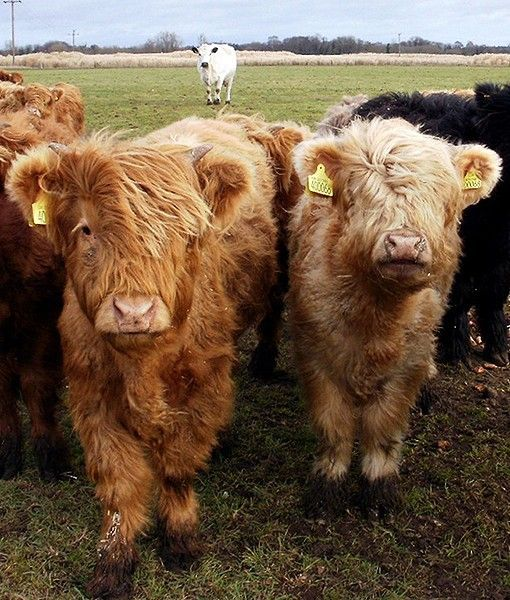 Fluffy teddy bear cows. Love how the other cow in the background is joining them in their photo shoot :)