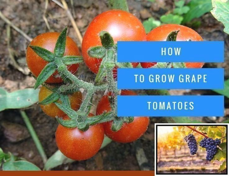 Growing Concord Grapes From Seed And Growing Mustang Grapes From Seed 1000 1000 Modern 1000 Growing Tomato Plants Growing Grapes Grape Tomatoes