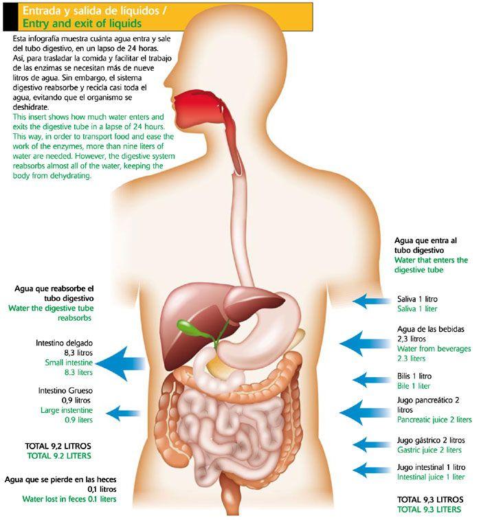 Mejores 28 imágenes de sistema digestivo en Pinterest | Aparato ...