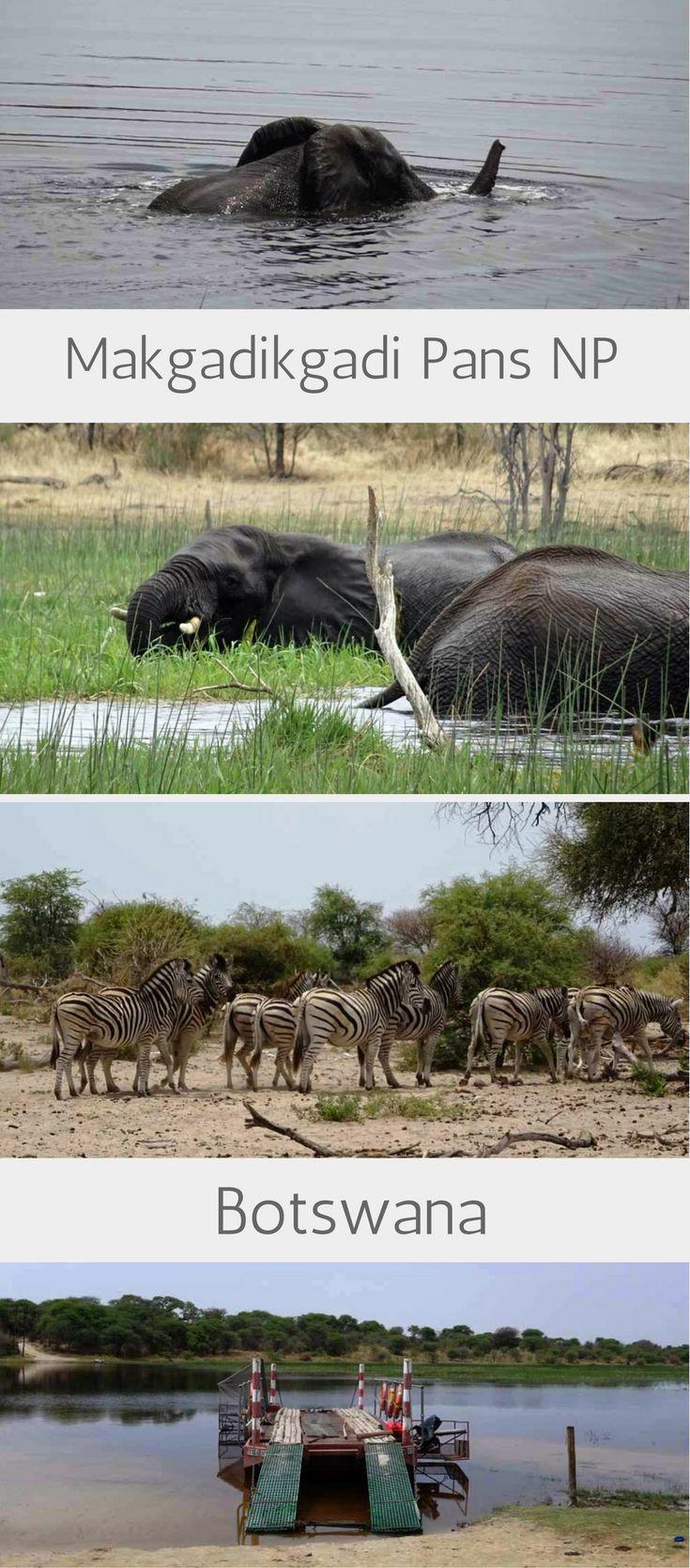 Schwimmende Elefanten beobachten in Botswana: Unser Geheimtipp der Boteti River beim Makgadikgadi Pans Nationalpark. Dort kannst du mit deinem Allrad-Mietwagen selbst auf Safari gehen. Floßfähren Abenteuer inklusive! Übernachten kannst du in Khumaga #botswana #Makgadikgadipans #nationalpark #elefanten #botetiriver #botswanawildlife #tiere #zebras #khumaga #safari #selbstfahrersafari #reiseblog #afrika #afrikareise #travelinspired #reiseinspiration