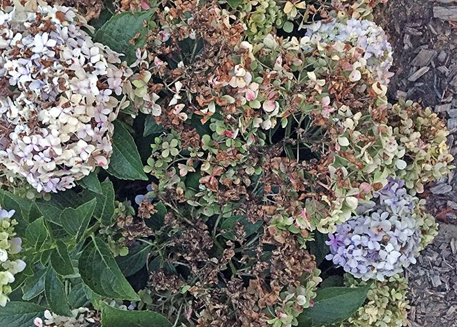 You Patiently Waited For Six Months While The Hydrangeas Were Bare Sticks You Actually Had Flowers Appea Hydrangea Not Blooming Hydrangea Bloom Hydrangea Care