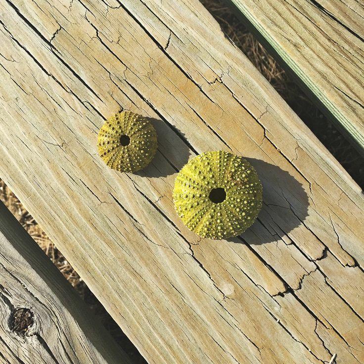 Sea urchins sunningthemselves on the walkway atIlhas Desertas, Faro, Portugal #sunnydistrict