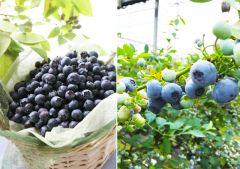 今が旬のブルーベリー狩りを楽しめるスポットが福岡県久留米市にあるよ ブルーベリーの村っていう所なんだけどブルーベリー摘み取り食べ放題をやってるんだ 10種類約4000本のブルーベリーを栽培しているからいろんな種類のブルーベリーが楽しめるのが魅力だね 売店やブルーベリーフローズンブルーベリーかき氷が楽しめるカフェテラスもあってソフトクリームが人気 お盆以降は果実が少ない場合があるから早めに行っておいたほうがいいかもね  #福岡 #レジャー #ブルーベリー狩り #フルーツ狩り #久留米  tags[福岡県]