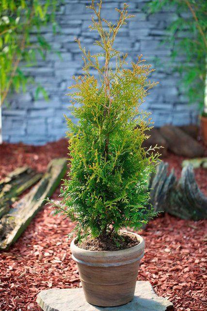 Hecke »Lebensbaum Brabant«, Höhe: 15 cm, 50 Pflanzen