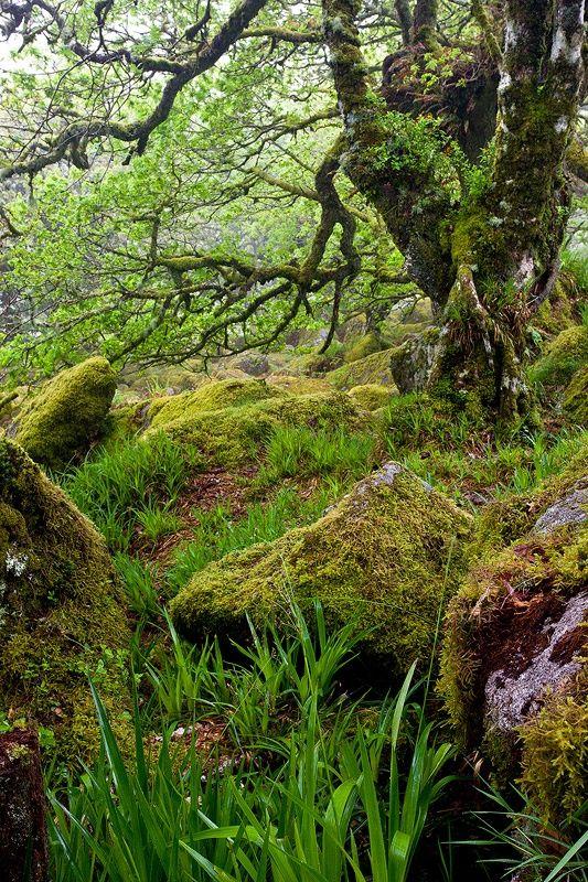 Wistman's Wood, Dartmoor National Park, Devon, UK.