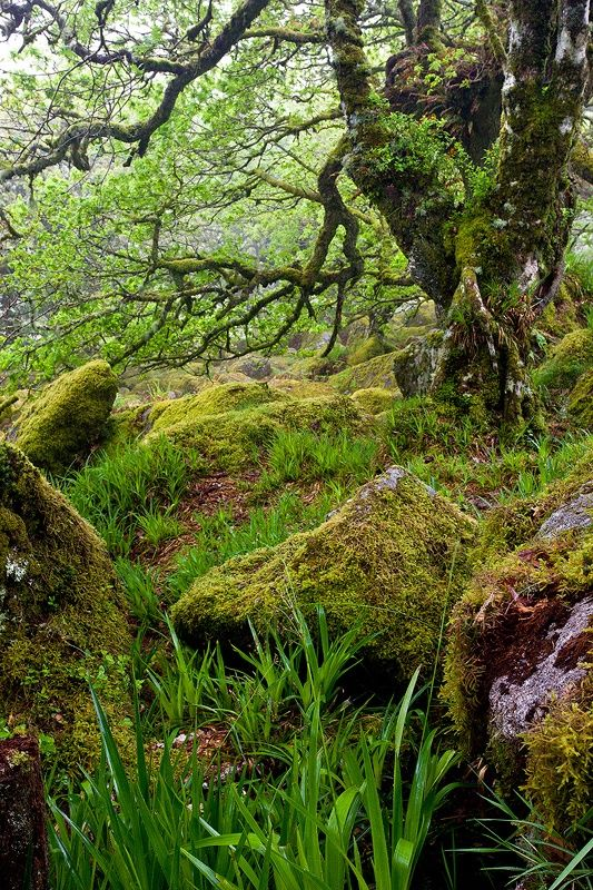 Wistman's Wood, Dartmoor National Park, Devon, UK  Ancient woodland (deciduous native species)