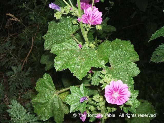 The 25 best Mallow plant ideas on Pinterest Tall purple flowers