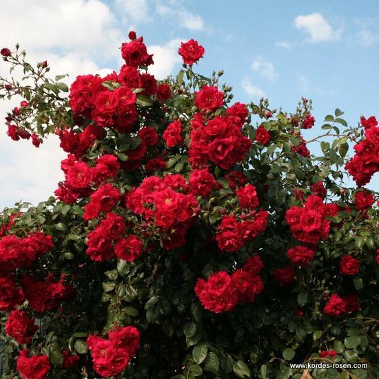 55 best images about kordes roses on pinterest shrubs mauve and buy roses. Black Bedroom Furniture Sets. Home Design Ideas