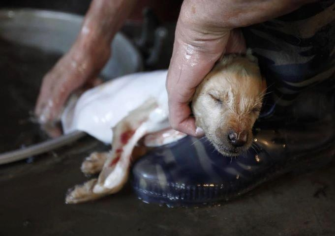 This is what happens every day in China.  A worker removes a dog's fur at a slaughter house in Dongbei county of Lianzhou, Guangdong province. Sign any protest lists you can find on this topic....please! PLEASE! DO NOT BUY TOYS FROM CHINA THAT HAVE FUR - even if it claims to be FAKE fur!!!!