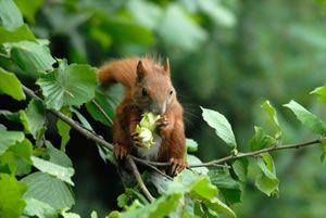 Eichhörnchen am Haselnussstrauch