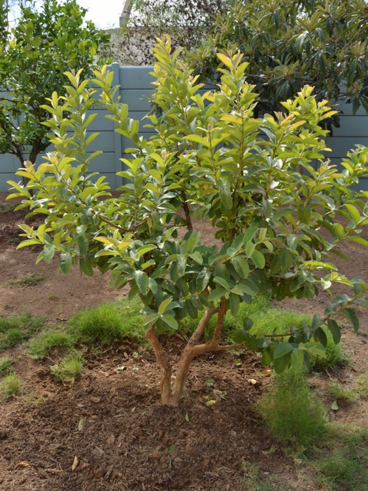 Small Backyard Guava Tree : Growing Guava Trees In Your Yard