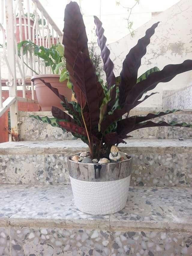 كالاثيا نبات ظل Plants
