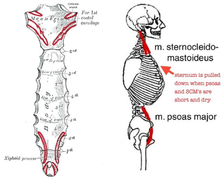 To free your sternum to float, begin by softening the upper psoas (stop using it as a stabilizer), hydrate tissue, and lengthen your sternocleidomastoid muscles.