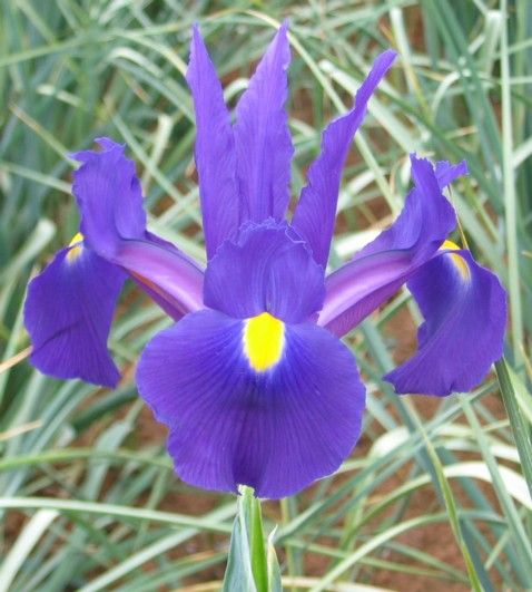 Growing Dutch Iris - Suitable for most climates except Tropical zones. Dutch Iris prefer cool to cold climates but will tolerate warmer areas. Dutch Iris make a magnificent display mass planted in the garden. Partner them with daffodils in large bowls or under deciduous trees. Plant them in elegant planters to bring inside in early spring.