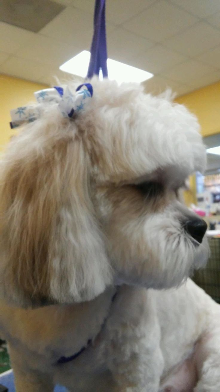 Shichon puppies for sale in kentucky - Khloe My Shichon Dog Our Teddy Bear Zuchon