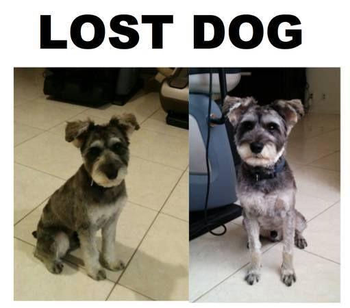 SAN GABRIEL, CA LOST DOG Male Mini Schnauzer, 1 yrs old