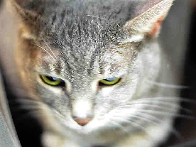 WILLOUGHBY - A1123261 - - Brooklyn  *** TO BE DESTROYED 08/29/17***   SHY AND INDEPENDENT WILLOUGHBY WANTS TO BE YOUR NEW BEST FRIEND!!   7 year old WILLOUGHBY is a spayed girl who was brought in with housemate for allergies. (housemate not listed) Willoughby would probably enjoy an adult only environment.  Needs a new furever home!  MUST BE RESERVED BY NOON!! -  Click for info & Current Status: http://nyccats.urgentpodr.org/willoughby-a1123261/