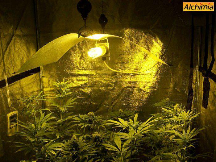 Veremos todos los factores a tener en cuenta para tener éxito en el cultivo de marihuana en un armario de cultivo. La iluminación, la ventilación (inttracción y extracción), temperatura y humedad, riego y abonado y los preventivos tratamientos fitosanitarios.