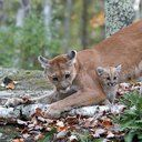 Help protect Utah's cougar population!   The Utah Wildlife Board is voting on September 1st, 2016 to increase the hunting quotas on cougars for the upcoming hunting season.  They will also be voting on a recommendation to create a new hunting unit where unlimited trophy hunting will be allowed.  Please...