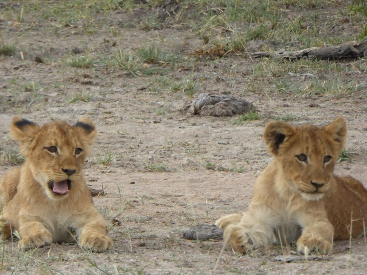 Lion cubs at play, Sabi Sabi Private Reserve, South Africa.