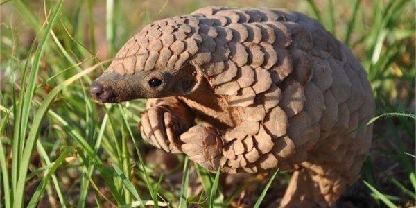 Pangolim: uma fofura em grave perigo de extinção