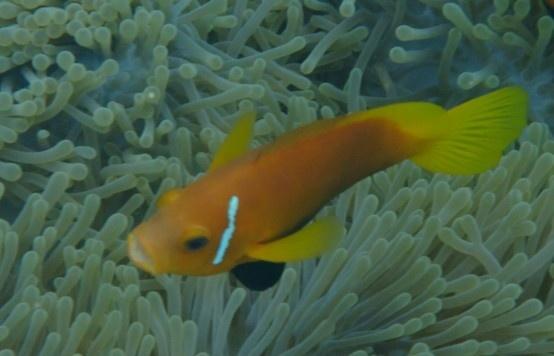 Nemo at Vilamendhoo