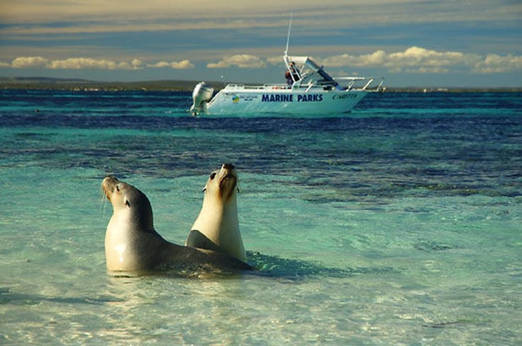 JURIEN BAY SEA LIONS - One of the popular things to do when staying in Cervantes is to swim with the Sea Lions in Jurien Bay. They are friendly and ready for ocean play year round, but humans like the temperature of their ocean playground best from November to March. For more about Cervantes area Things to Do, you can go to http://cervanteslodge.com.au/pinnacles-cervantes-lodging-backpackers-hotels-rooms-rental-bed-breakfast-overnight-stays/pinnacles-info/ #australia #travel #sealions…