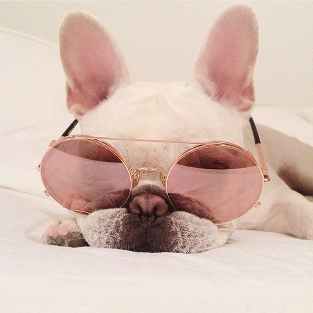 Current mood. It's a dog life. One more pair of these Valentines in Rose Gold Mirror Lens / Metal available online. Link in profile. Woof  #sundaysomewhere pic. @lil_kush_ny