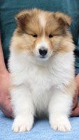 Rough and Smooth Collie puppies for sale