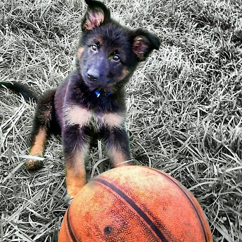Breed: Full Blooded AKC German Shepherd (Long-Haired) Name: Jerzii Rein Age: 21/2 months