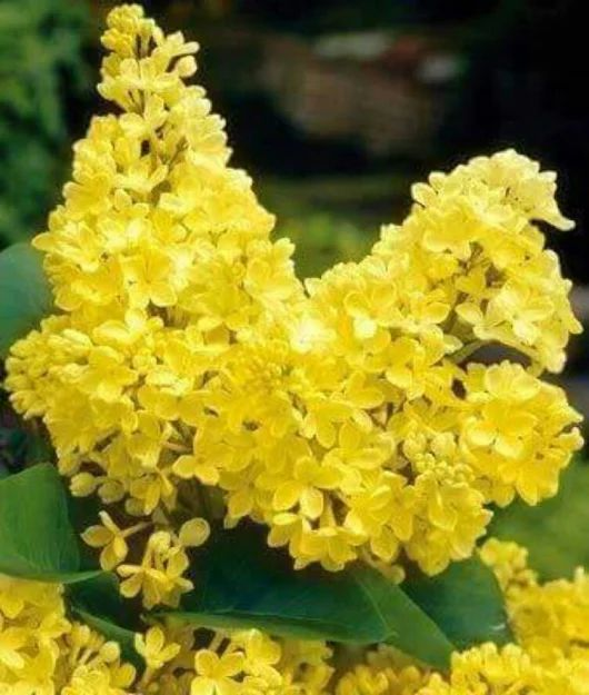 c608ba1e54b0b1ad4a45ae297efe19d9--lilac-bushes-primroses - Yellow Blooms - Photos Unlimited