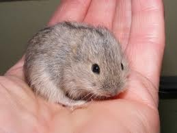 He is sooooo cute! Is a lemming an acceptable pet now?