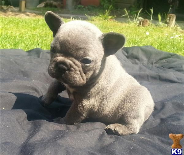Blue French Bulldogs for Sale in north ga   French Bulldog pup - French Bulldog Puppy for Sale in the UK