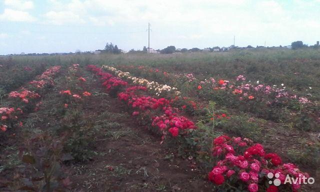 Розы (кусты) — фотография №1