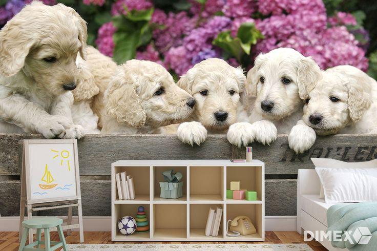 Fototapeta - šteniatka labradora | DIMEX