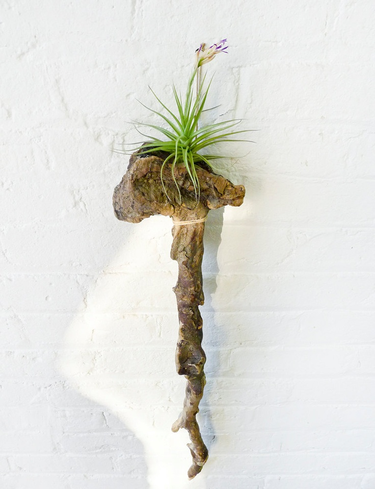 107 best images about ntrlk airplants on pinterest for Air plant wall hanger