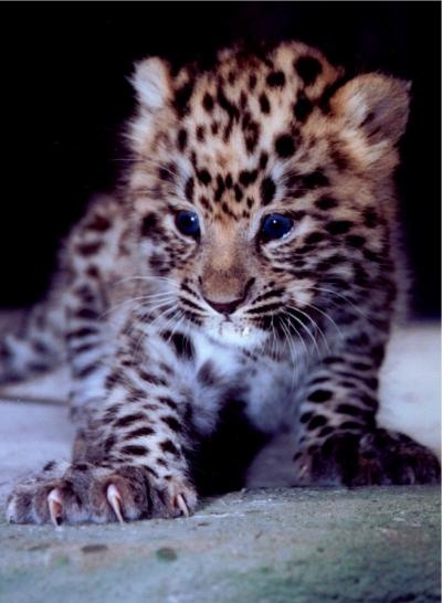 Amur leopard cub Amur leopard, even rarer than the snow leopard. Amur leopards are -- CRITICALLY ENDANGERED 35 LEFT IN THE WILD! These roam the forests of Siberia.