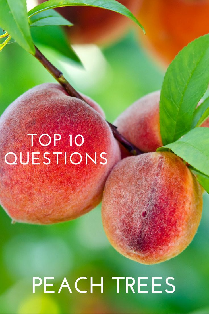 Top 10 Questions About Peach Trees - Gardening Know How's Blog
