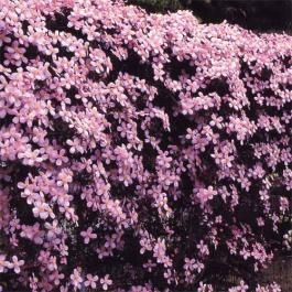"Clematis Montana ""Tetrarose"" ...One of the hardiest of the clematis plant family, perfect for a lazy gardner. They are vigorous growers and will quickly cover large fences and wall. Clematis montana require little  pruning, flowering on last year's wood, other than keeping them within bounds.     Clematis montanas produce masses of flowers in late Spring. Colours vary from white through to rose-pink and many are scented."