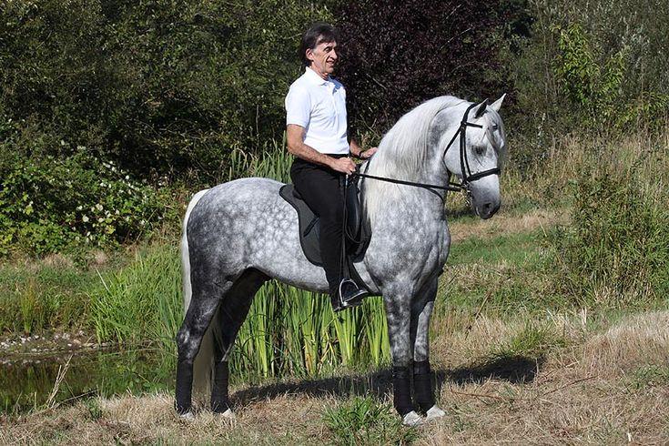 Morgan Colors- Gray Morgan Horses - Firecrest Santa Fe