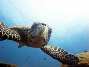 Favorite turtle shot --Diversia Diving Gili Trawangan Lombok Indonesia