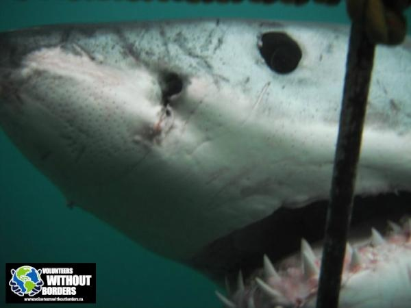 If you're a real adventurer & want to see Great White Sharks in South Africa up close visit us: http://www.volunteerswithoutborders.ca