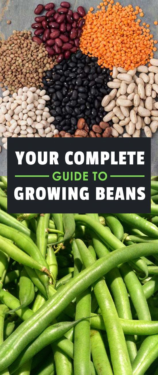 Learning how to grow beans means you'll never be without a great source of protein in your diet. They're one of the fastest and easiest veggies to grow!