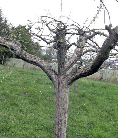 Rückschnitt eines älteren Obstbaumes mit Stamm, Leitästen, Mittelstamm und einer Spitze