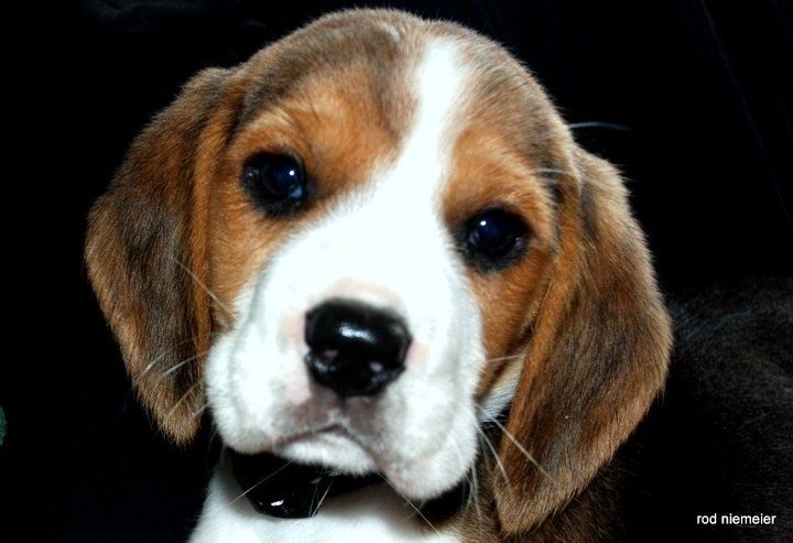 Cutest beagle puppy or what?